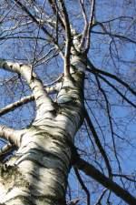 birken/11398/staerkeauch-ohne-blaetterkleid Stärke! auch ohne Blätterkleid